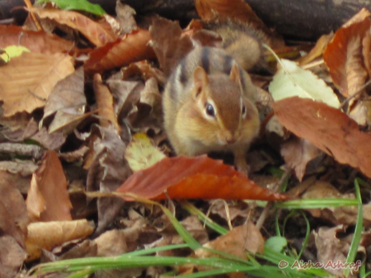 Chipmunk at Lynde Shores Conservation Area