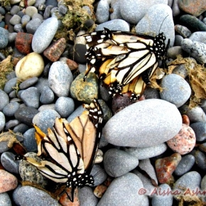 Where do butterflies go todie?