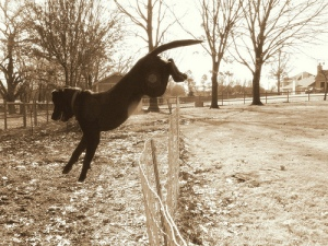dog-escaping-by-jumping-over-fence, escaping